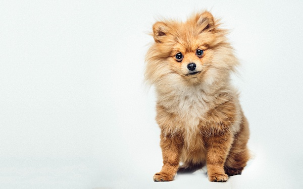 Chelsea the Pomeranian_-53-Edit.jpg